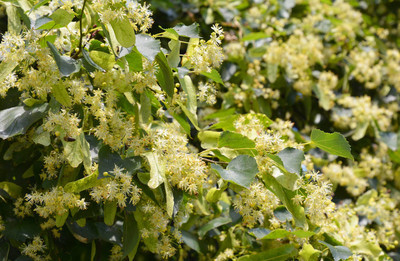 Linden blossom flowers. Blooming linden tree branches in hot summer day.