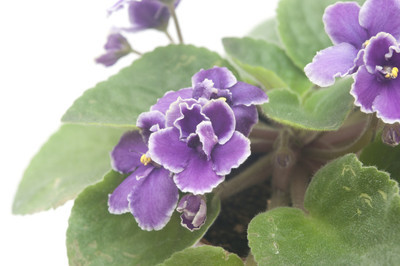漂亮的紫罗兰色花孤立的白色背景上