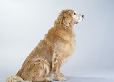 狗黄金猎犬