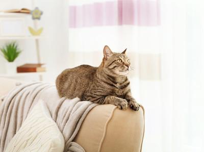 灰色的虎斑猫