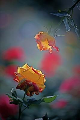 对浅笑 玫瑰花
