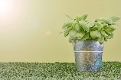 盆栽植物罗勒
