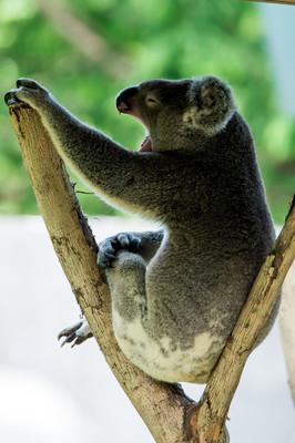 可爱的考拉,翘着二郎腿,打着哈欠,悠闲自在。南京是全国第二座城市拥有澳洲国宝——考拉的城市。周末闲暇时光,逛逛红山动物园,看看可爱的小动物。