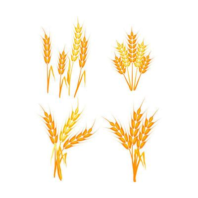 小麦的小穗矢量图
