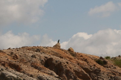 蜂虎哨兵独自站在高高的山岗上,守护着家园。