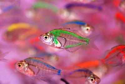 多彩的半透明热带鱼在清澈的水里游泳