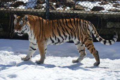 冬天的老虎在户外