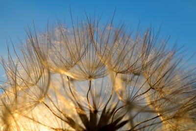 蒲公英的花,在日落时