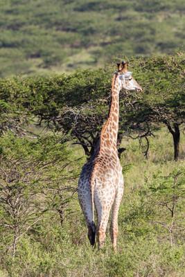长颈鹿野生动物自然