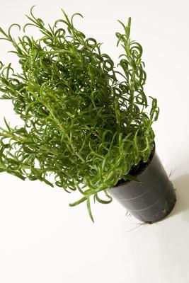 新鲜绿色 rosmary 植物