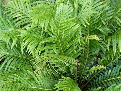 绿色蕨类植物
