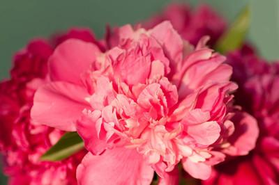 红牡丹花卉特写