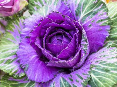 紫甘蓝观赏背景