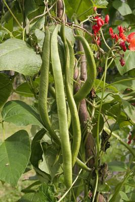 红花菜豆δρομέας φασόλια