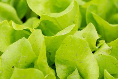 小绿色的莴苣