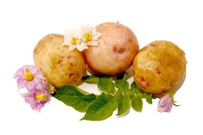 年轻的马铃薯