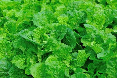 在经济增长中的绿色卷心菜