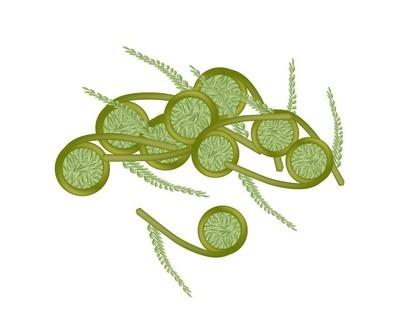 白色背景上的新鲜绿色 fiddleheads 蕨类植物