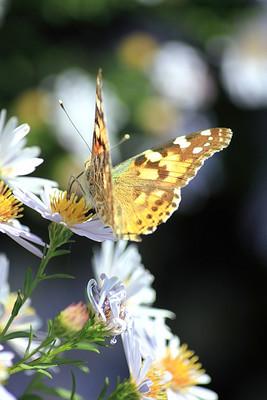 在美丽的花蝴蝶