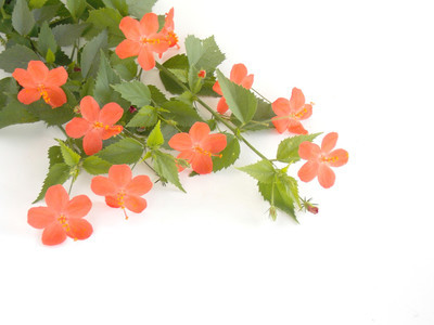 白色背景上的美丽的橙色芙蓉花