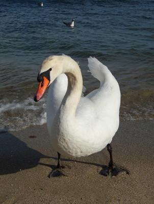 vit svan på stranden