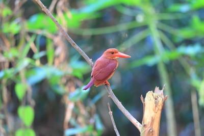 多彩的红色翠鸟,男性红润翠鸟 (宁静 coromanda),在树枝上