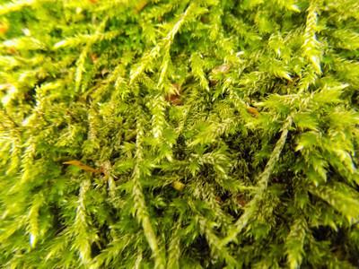 森林绿色苔藓纹理。抽象植物背景。植物壁纸