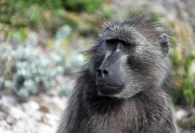 雌性狒狒看起来很远南非成年猴