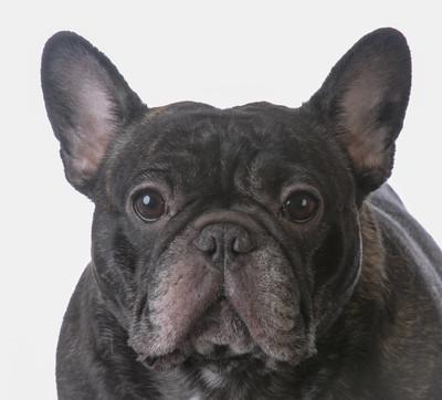虎斑色法国斗牛犬