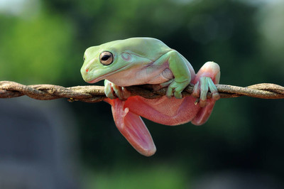 flying frog, dumpy frog, frogs