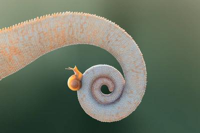带蜗牛的变色龙尾巴