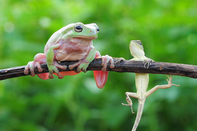 dumpy frog, frogs, tree frog,