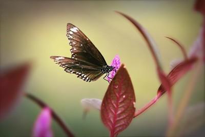 上一朵花的蝴蝶
