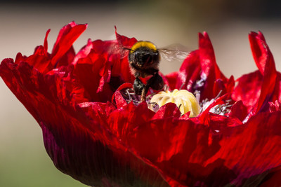 Bee front with red flower