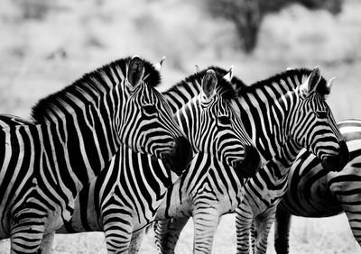 在黑色和白色在克鲁格国家公园南非主演斑马