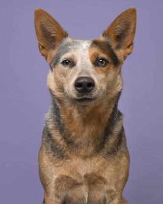 澳大利亚牛狗的肖像在紫色背景看内容微笑在相机