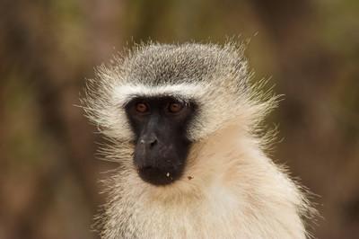 黑脸猴子的肖像