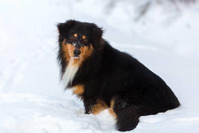 澳大利亚牧羊犬在雪中的肖像