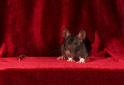 灰鼠红色天鹅绒背景上的肖像