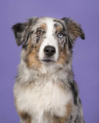 在紫色背景下的一个奇怪的眼睛漂亮的蓝梅尔澳大利亚牧羊犬的肖像