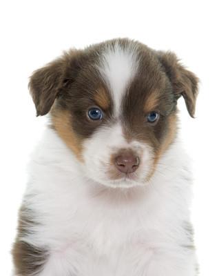 小狗澳大利亚牧羊犬