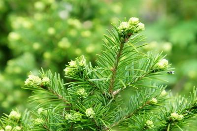 圣诞节树的年轻绿色分支