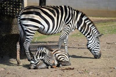 妈妈和宝宝斑马
