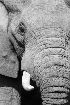 黑白大象肖像