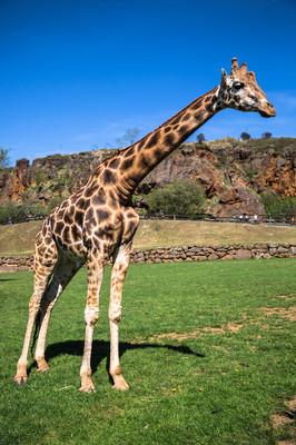 在野生动物园的长颈鹿