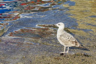 年轻的黄脚的鸥