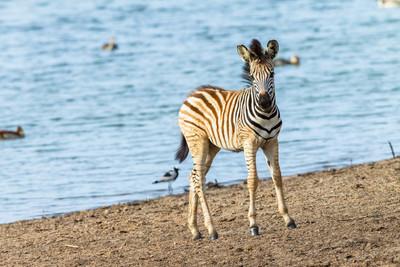 斑马的小牛水坑野生动物