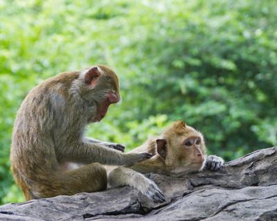 野生动物的泰国猴子在孤独的情感