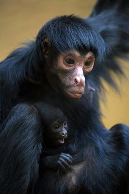 蜘蛛猴与婴儿
