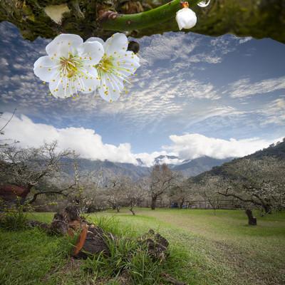 美丽的春天盛开的梅花